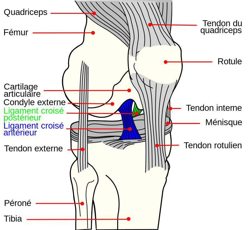 Ligament croisé