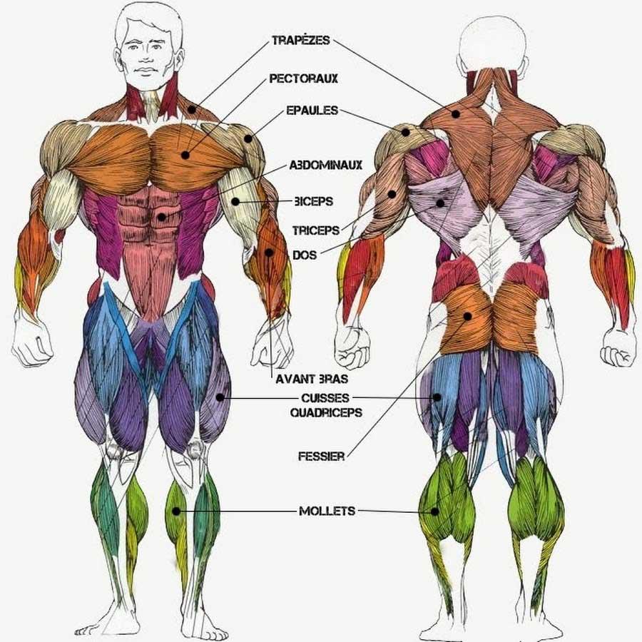 Les différents muscles du corps