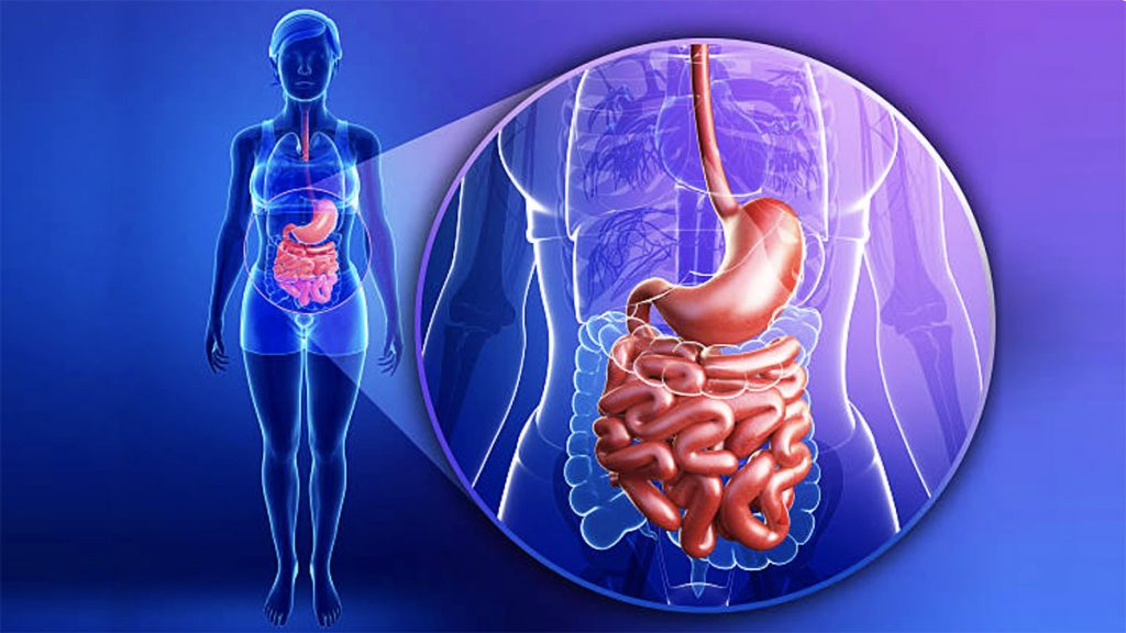 Rôle de l'intestin : aperçu du système digestif